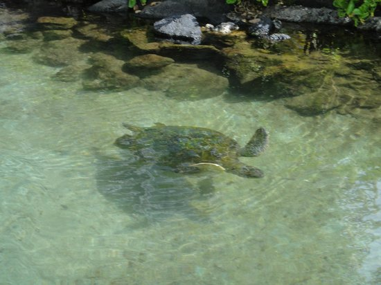The Kahala Hotel & Resort : Turtle in the lagoon
