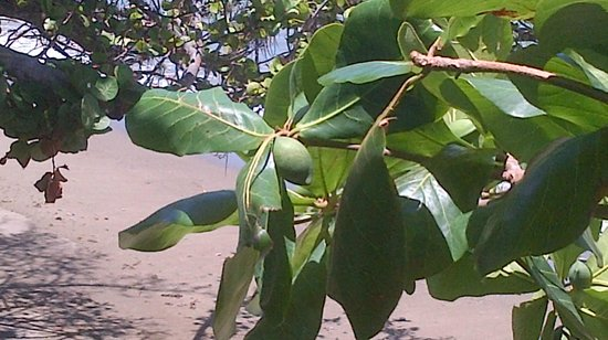 Speyside, Tobago: local almond