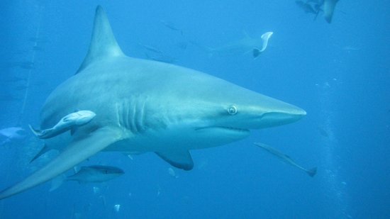 Umkomaas, South Africa: Oceanic black tip