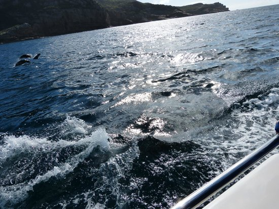 Coles Bay, : Dolphins
