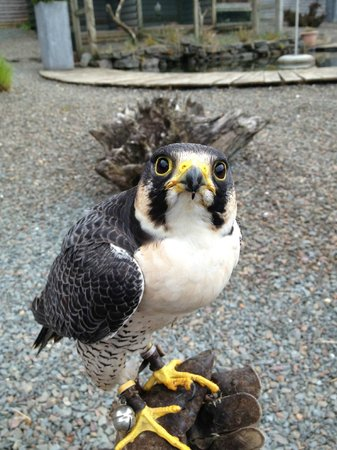 Lockerbie, UK: Peregrine Falcon