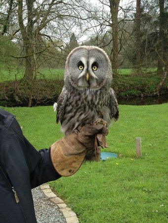 Lockerbie, UK: Great Grey Owl - Molly, who can be hired for ring delivery at weddings!