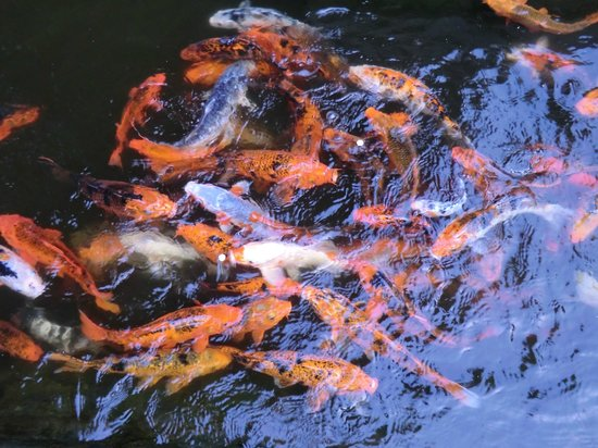 Lampang, Thailand: The fish enjoy being feed - try some bread
