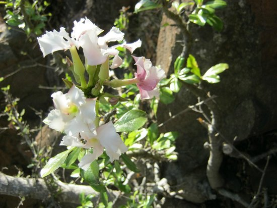 Hluhluwe, Afrika Selatan: Kudu Lilies - endemic to Leopard Mountain Game Lodge