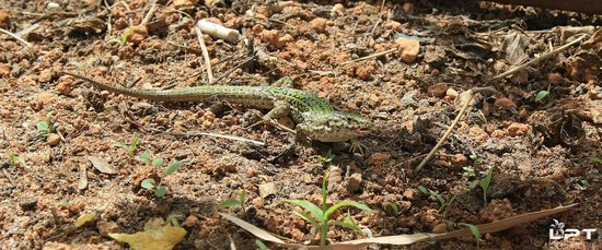 Fiesta Club Palm Beach: Wall Lizard