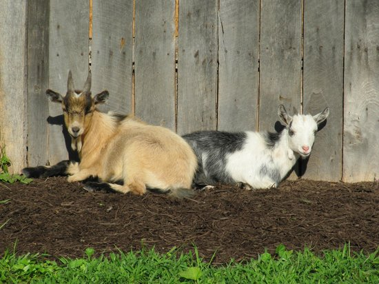 Seneca Rocks, Wirginia Zachodnia: The two pygmy goats- Shannon Doah and Allie Gheny
