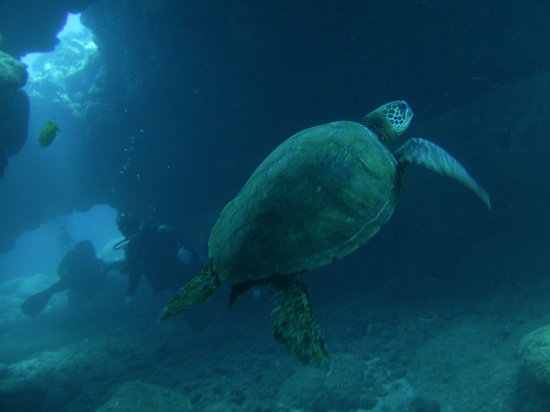 Koloa, HI: Hawaiian Green Sea Turtle (Honu)