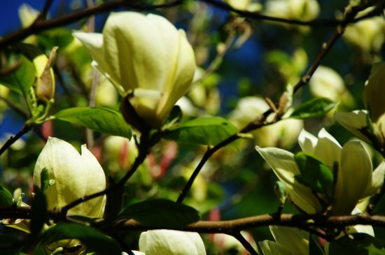 Whidbey Island, WA: The yellow Magnolia tree!