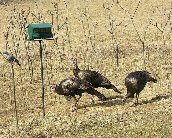 Warrensburg, Missouri: Turkeys visiting the bird feeder in front of the Cottage