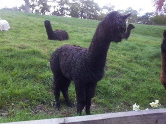 Raithwaite Hall: Alpacas on the hill next to the hotel gardens.
