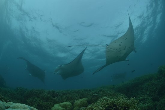 Colonia, Mikronesiafderasjonen: manta rays