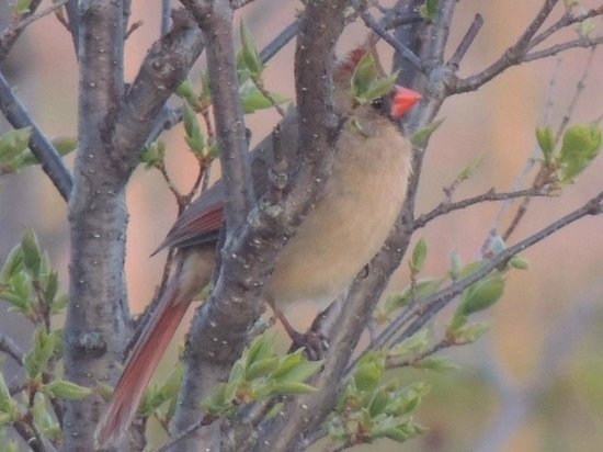 Wheatley, Canada: A female cardinal perched in the birch tree outside