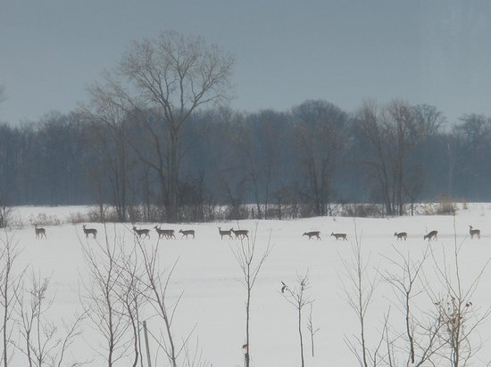 Wheatley, Canada: A heard of deer crossing our backyard