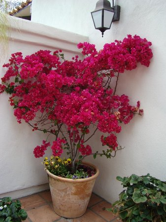 BEST WESTERN PLUS Hacienda Hotel Old Town: Beautiful bougainvillea plant on the property
