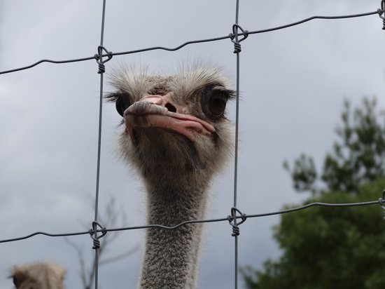 Gulf Breeze, FL: Ostrich