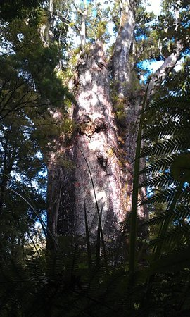 Northland Region, New Zealand: The second oldest Kauri