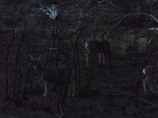 Far View Lodge : Sorry it was a little dark to take these Mule Deer's picture, afraid I'd  scare them with the fl
