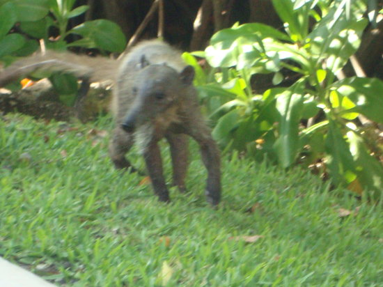 BlueBay Grand Esmeralda: A coati