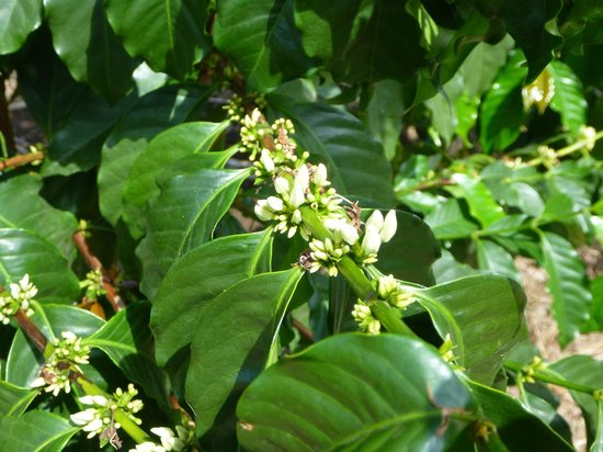 Kealakekua, HI: Coffee Flowers