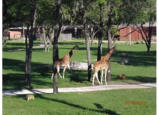 Disney&#39;s Animal Kingdom Lodge: Viewing Giraffes from balcony