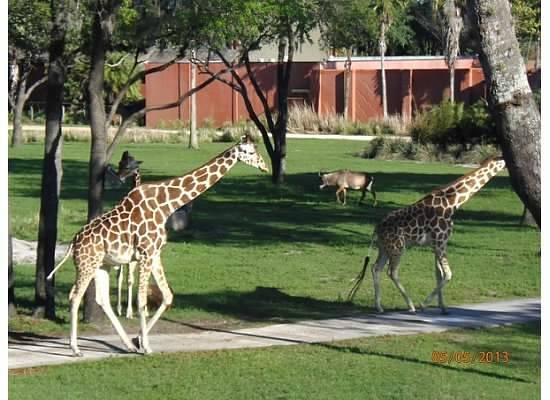 Disney's Animal Kingdom Lodge: viewing Giraffes from balcony