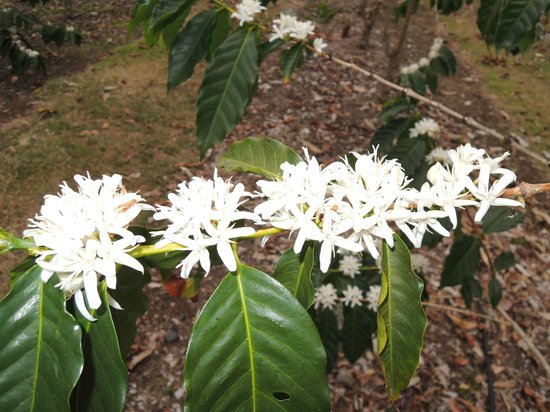 Holualoa, Hawi: Coffee flower