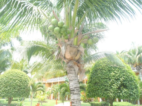 Barcelo Maya Beach: Coconuts