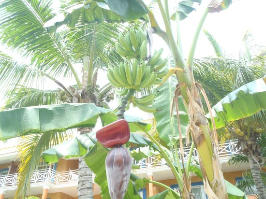 Barcelo Maya Beach: Banana Tree
