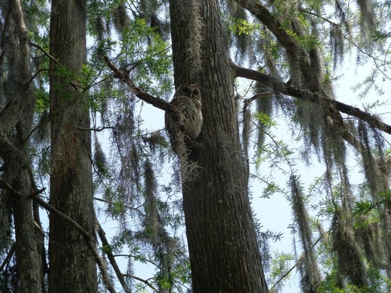 Breaux Bridge, LA: Owl in tree