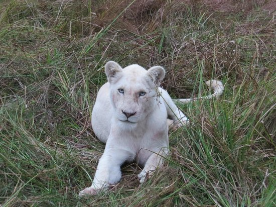 African Pride Pumba Private Game Reserve: White Lion