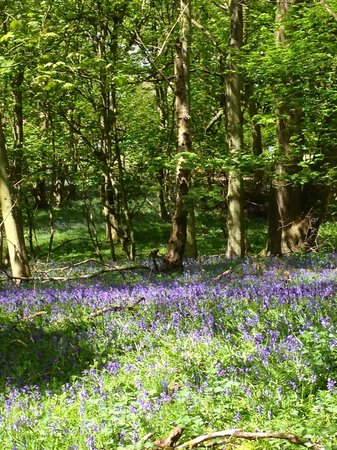 Berkhamsted, UK: Bluebells at ashridge 12 may 2013
