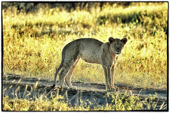 Madikwe Safari Lodge: Lion at sunset