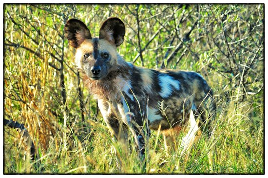 Madikwe Safari Lodge: Wild dog encounter
