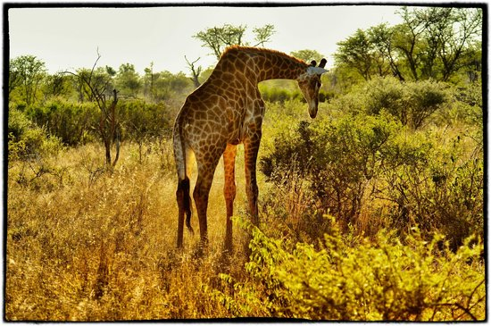 Madikwe Game Reserve, Republika Poudniowej Afryki: Giraffe