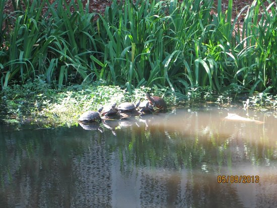 Wild Dunes Resort: Turtles in the pond on our walk to the beach