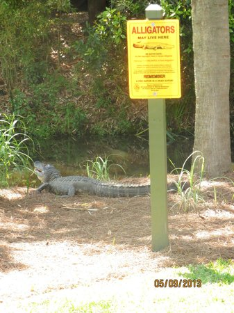 Wild Dunes Resort: Alligator!