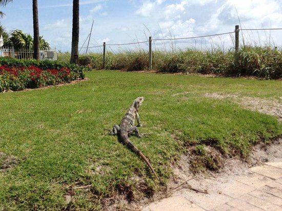 The Ritz-Carlton Key Biscayne, Miami: exotic lizards on the grounds made us feel exotic, very cool!