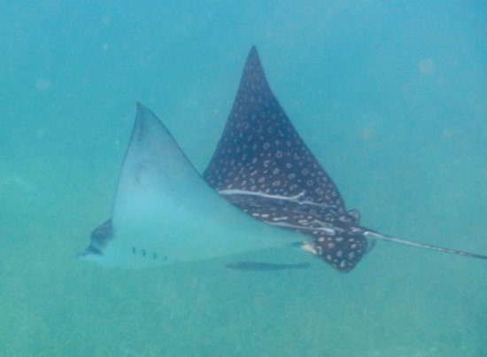 Hatchet Caye Resort: Spotted Eagle Ray