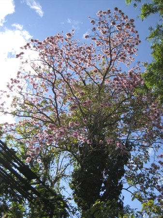 Pura Vida Hotel: Flowering Tree on the Grounds