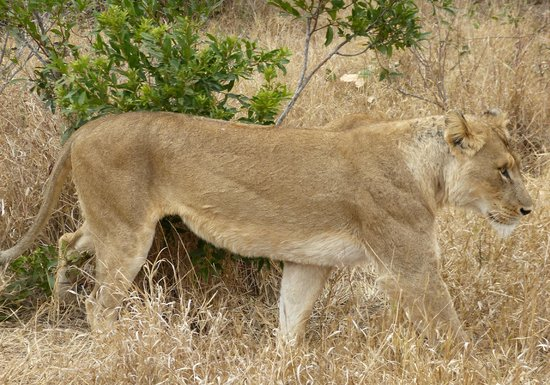 Kambaku Safari Lodge: Lioness