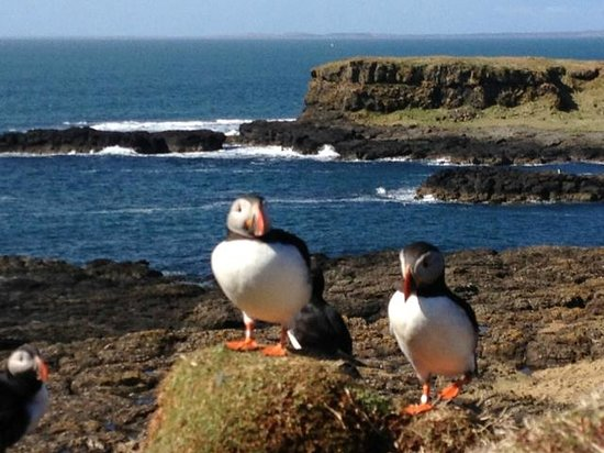 Dervaig, UK: Puffins on Treshnish Isles