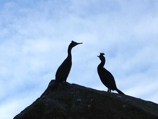 Dervaig, UK: Shags on Treshnish