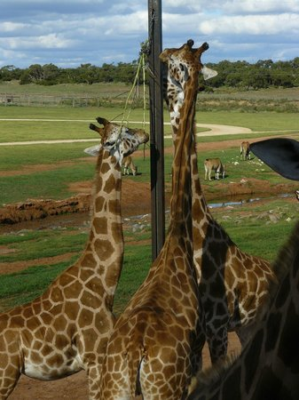  , : Giraffes at &quot;The Waterhole&quot;.