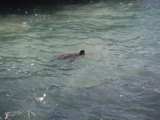 The Point at Poipu: Lots of Turtles.