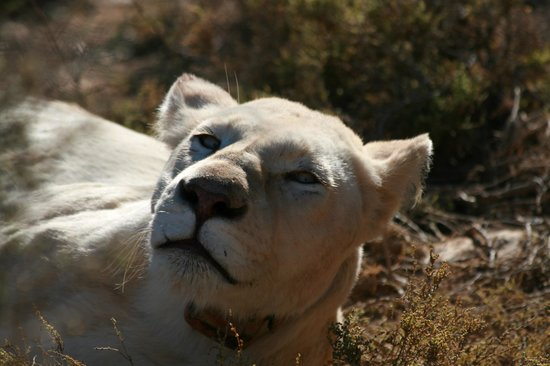White Lion Lodge: Close encounter with a White Lioness