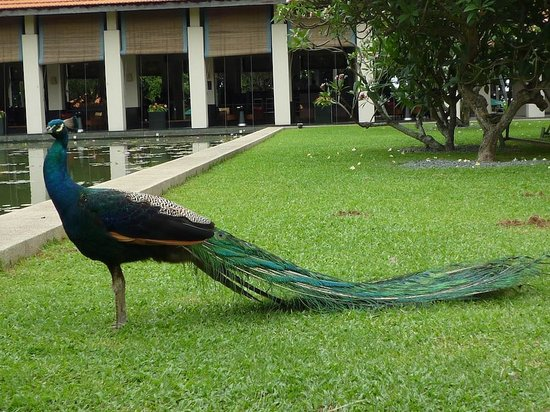 The Sentosa, A Beaufort Hotel: Free roaming peacock