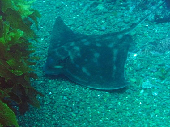 Paihia, Nueva Zelanda: Spotted Eagle Ray at Seal Bay