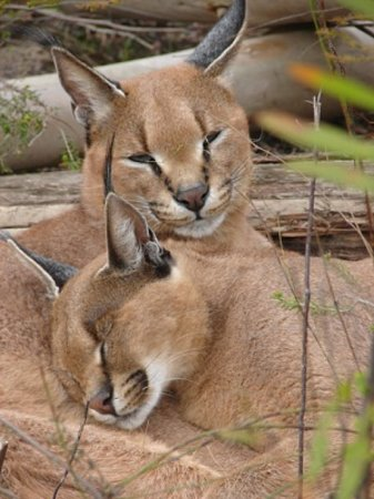 Storms River, แอฟริกาใต้: Activities - Tenikwa Wild Cat Sanctuary