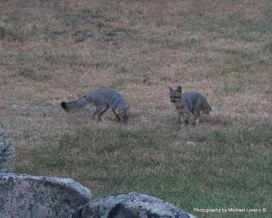 Mariposa, Californi: Pair of Silver Fox