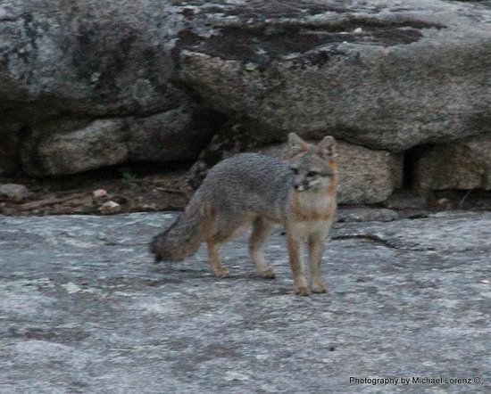 Mariposa, Californi: Silver Fox